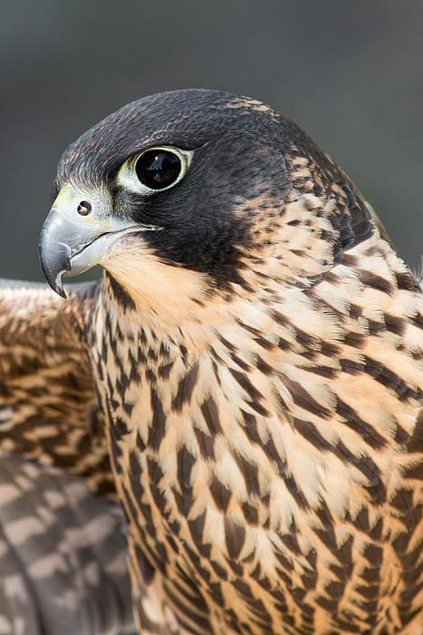 Pin By Litsa Larson On Eagles Hawks Falcons Peregrine Falcon Wild Birds Pet Birds