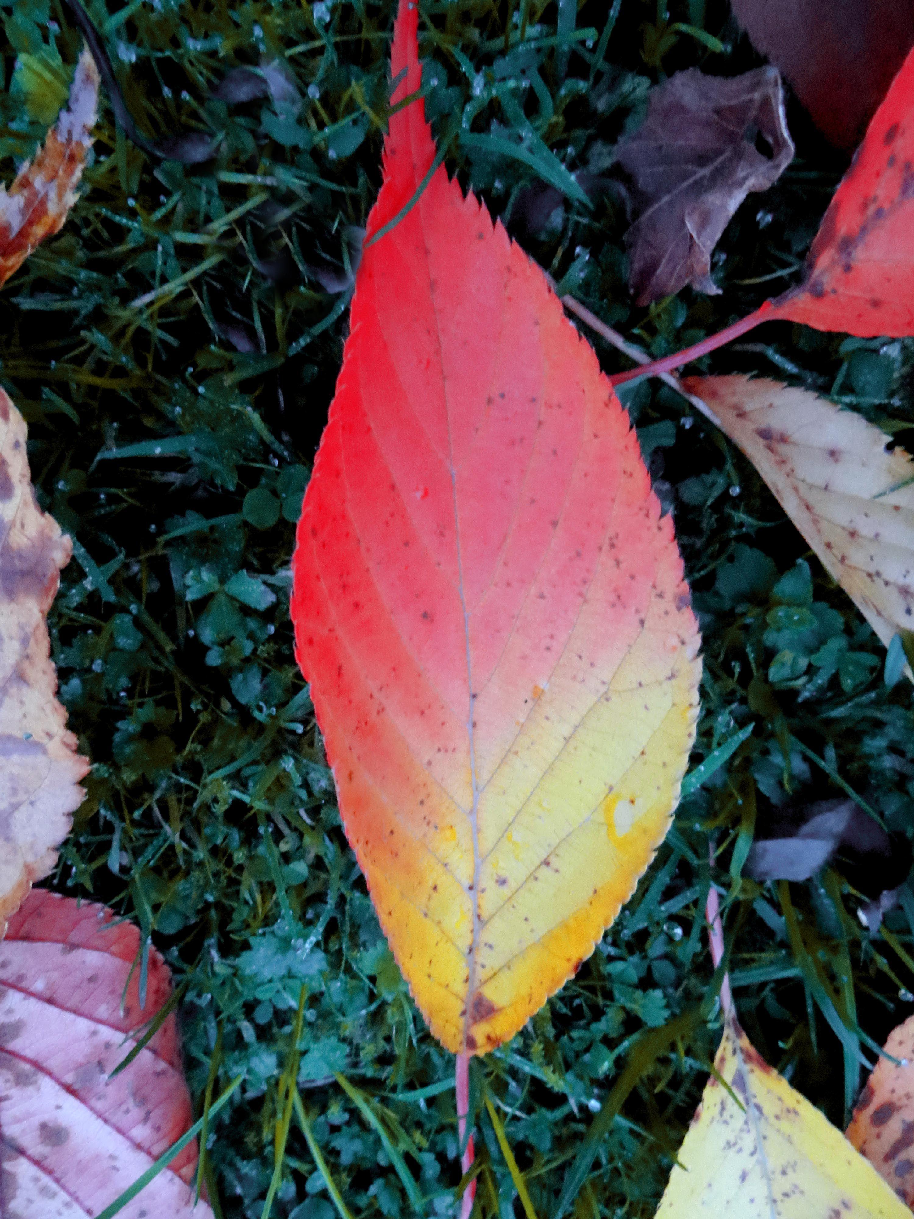 Flame leaf....a single cherry leaf