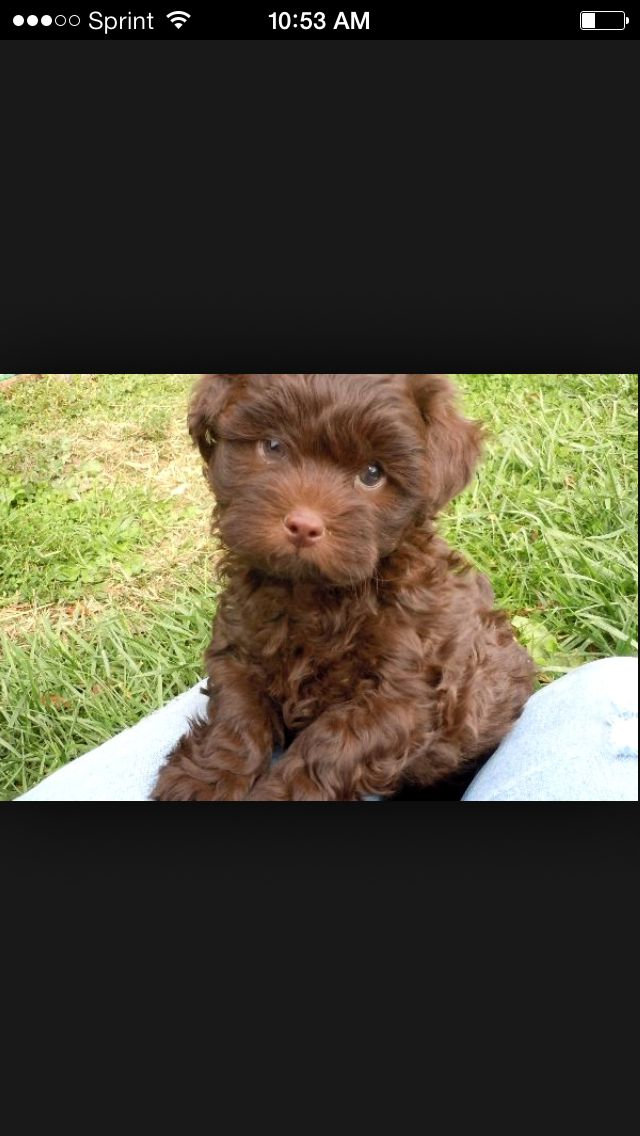 Chocolate Shih Poo Shih Poo Cute Animals Poodle Mix