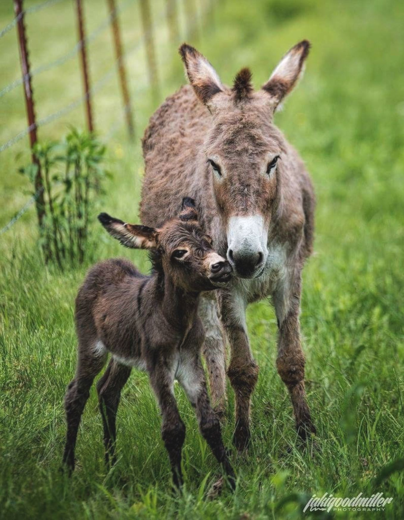 A donkey jennie and her cute little foal. Baby donkey