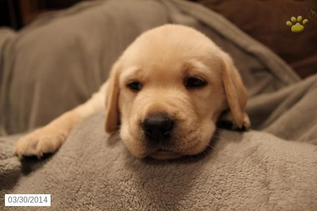 Labrador Retriever Puppy For Sale In Ohio Labrador Retriever