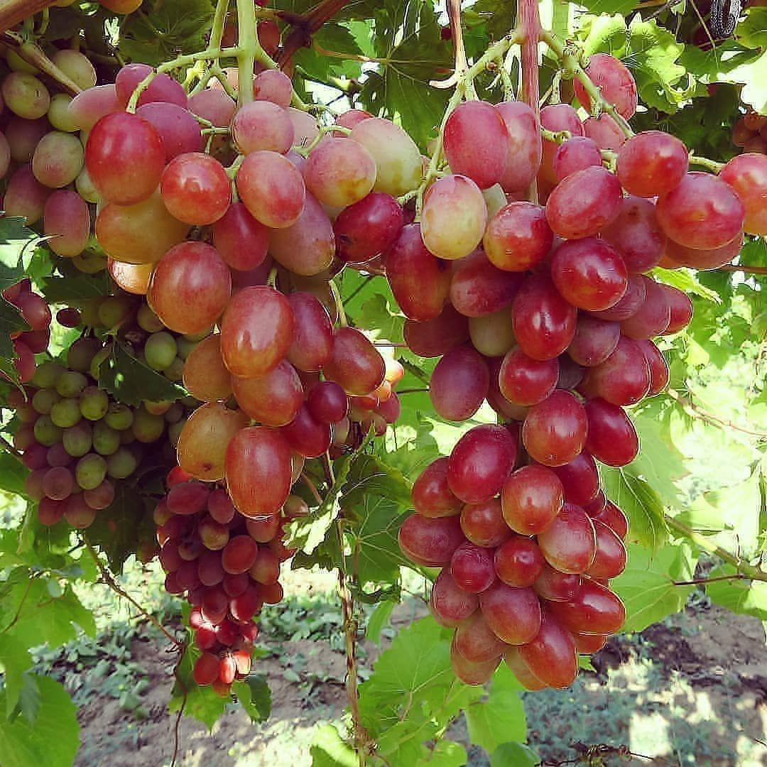Bibit Tanaman Buah On Instagram Hallo Selamat Pagi Ada Anggurninel Sudah Berbuah Tabulampot Buahsegar Kuliner Rumah In 2020 Fruit Grapes Vegetables