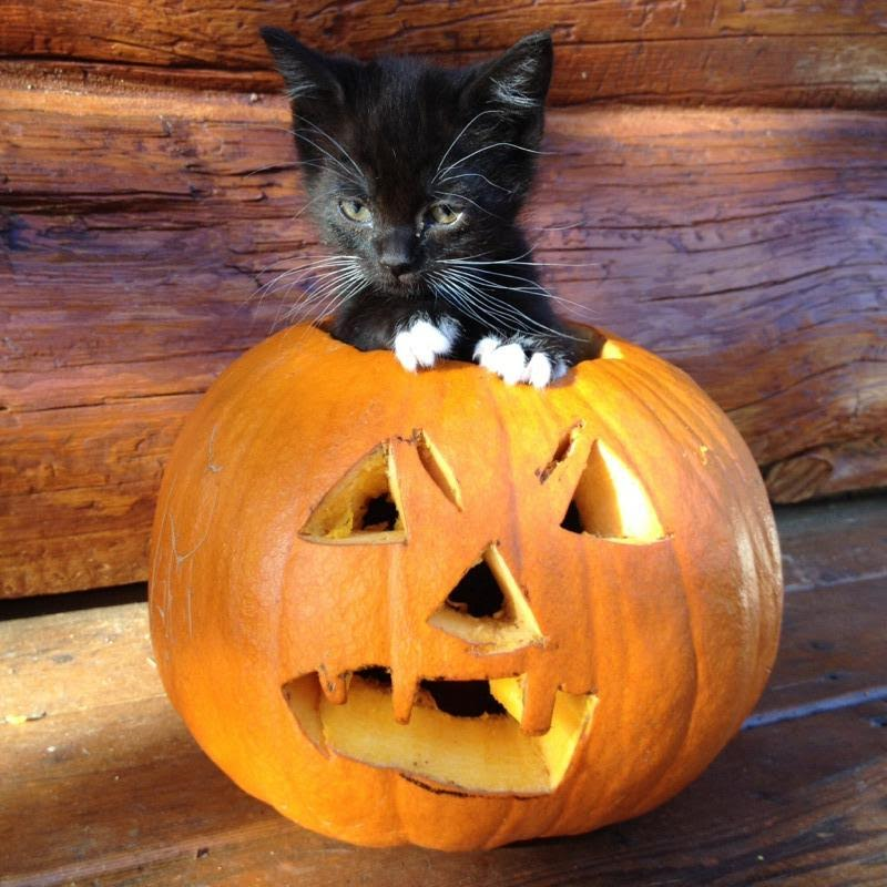Happy Halloween!🎃 Cat furry, Cute cats and dogs