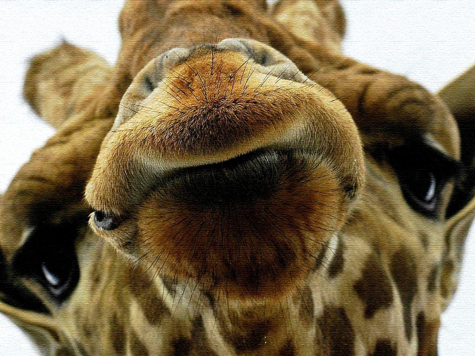 Giraffe Wallpapers Backgrounds Images FreeCreatives