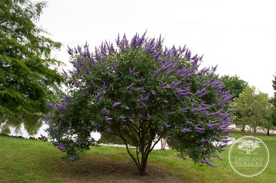 Vitex Are My Favorite Purple Flowering Tree In Texas Botanical