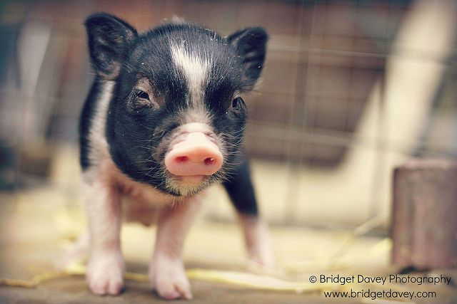 petpiggies uk | Recent Photos The Commons Getty Collection Galleries World Map App ...