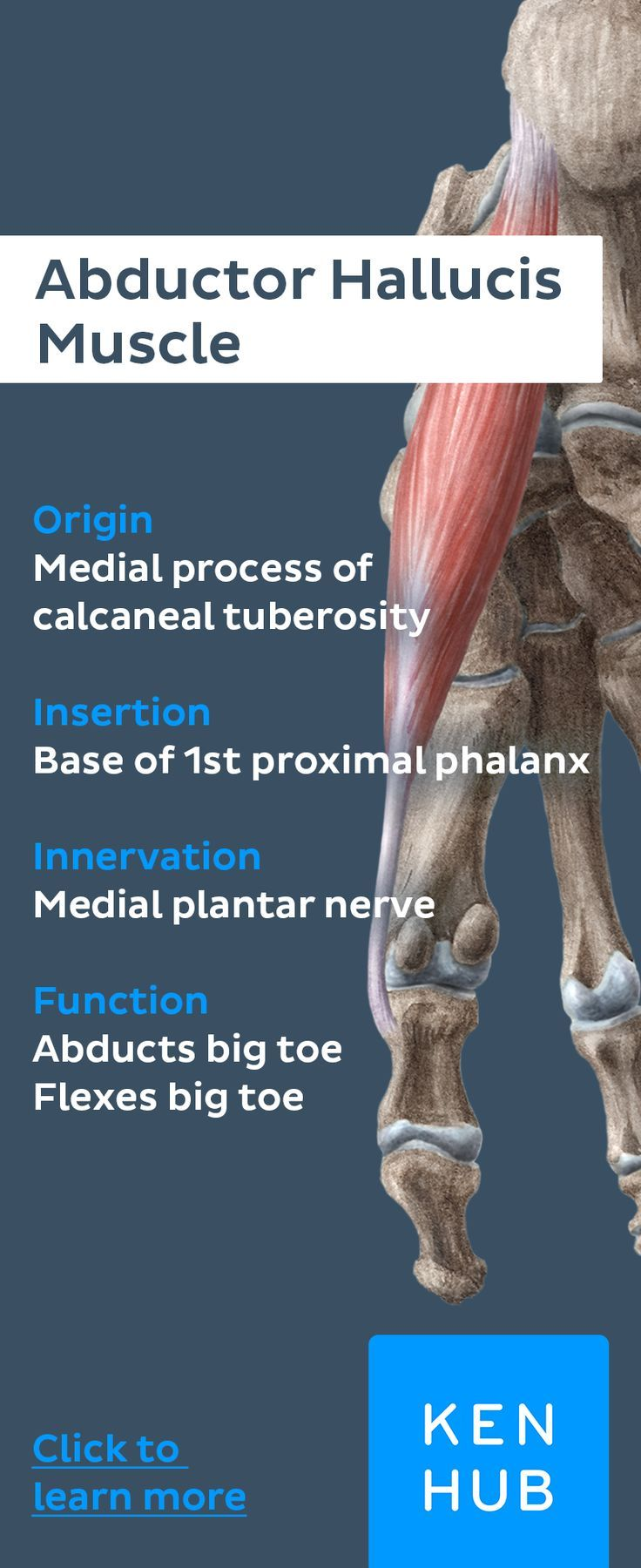 Medial Muscles of the sole of the Foot | Anatomy, Sole and Muscles