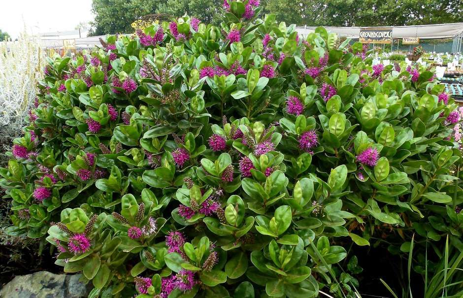 Pin On Landscape Evergreen Shade 400 x 300