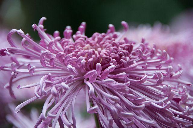 Dsc 2850 Chrysanthemum X Morifolium Unknown Spider Mum Chrysanthemum Flora Flowers Beautiful Flowers