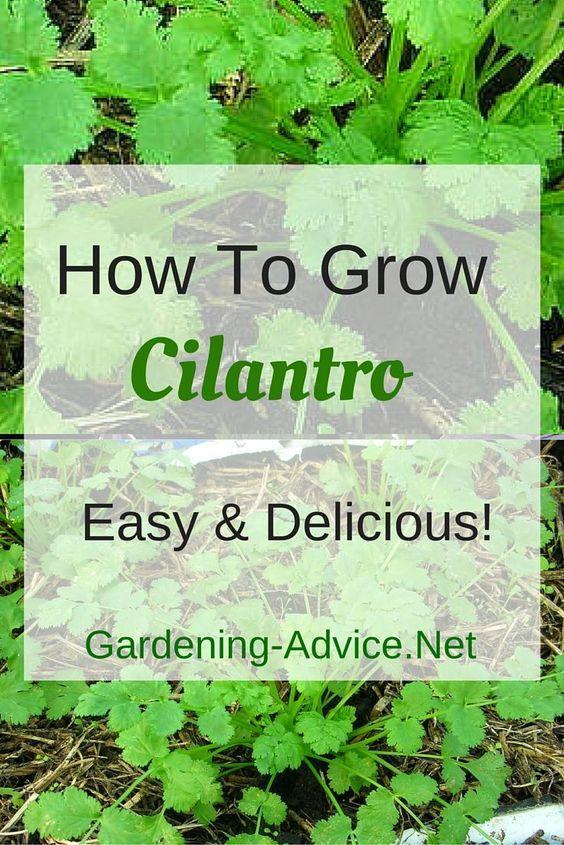 Growing Cilantro How To Grow Cilantro For Delicious