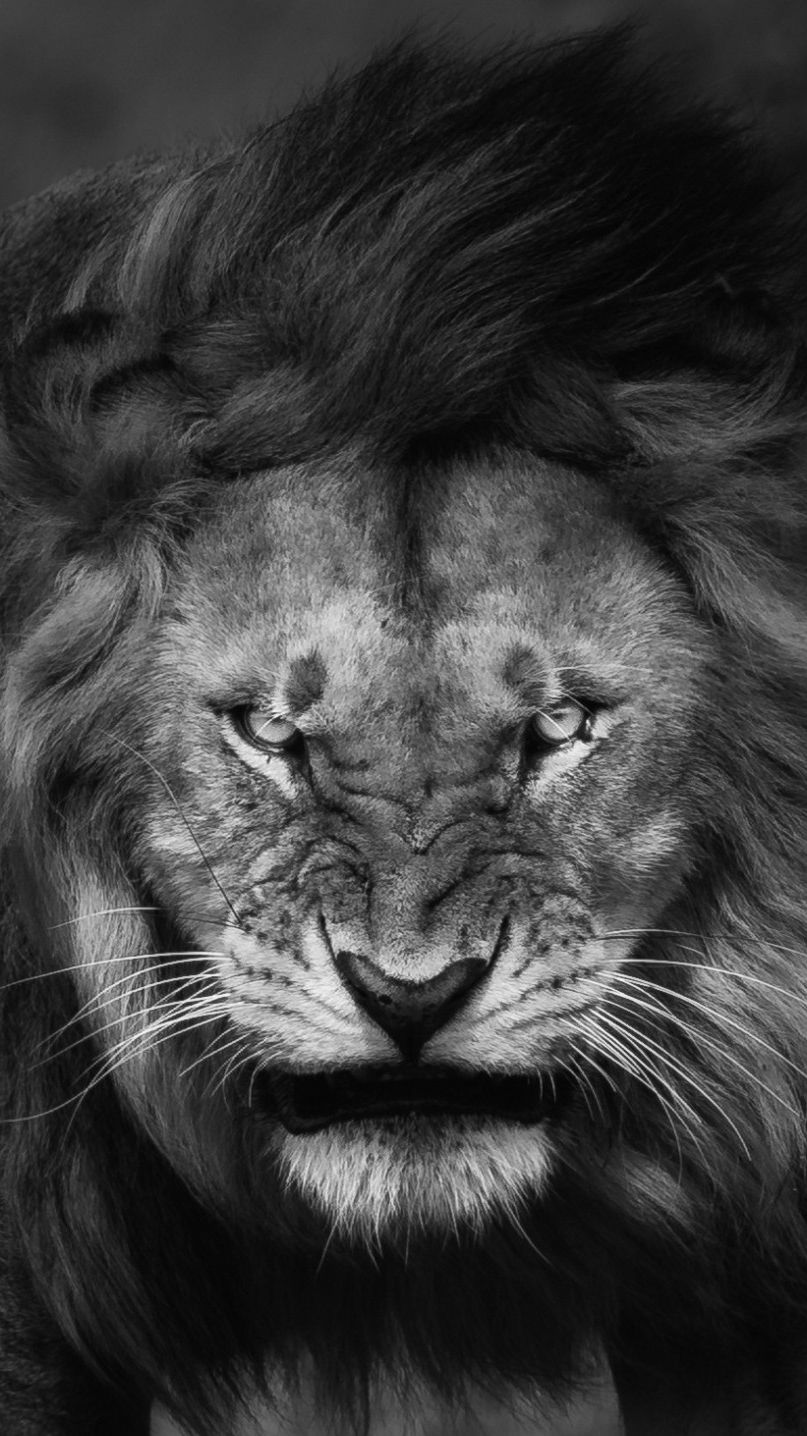 Angry-Lion-Face-Wallpaper-iPhone-Wallpaper | Regno animale | Lion wallpaper, Lion tattoo e Lion