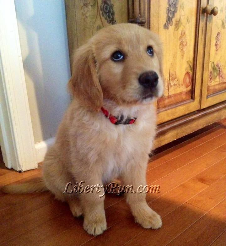 Libertyrun Golden Retriever Puppies For Sale In Md Liberty Run
