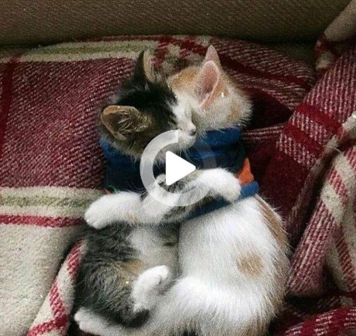 Ayse adlı kullanıcının tatlı kediler panosundaki Pin, 2020   Kedileri