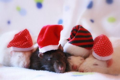 rats in hats