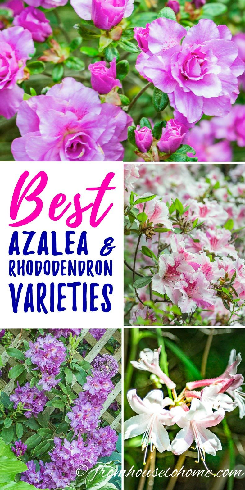 Rhododendron Varieties 7 Of The Best Azaleas And Rhododendrons For Your Garden Gardening From House To Home Shade Loving Shrubs Shade Perennials Rhododendron