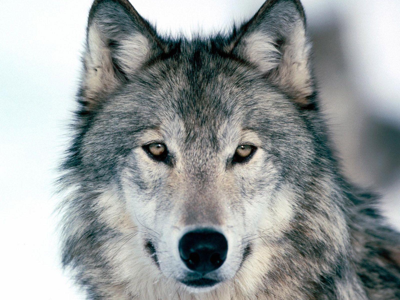 1600x1200 Wallpaper wolf, winter, snow, face, eyes, predator ...
