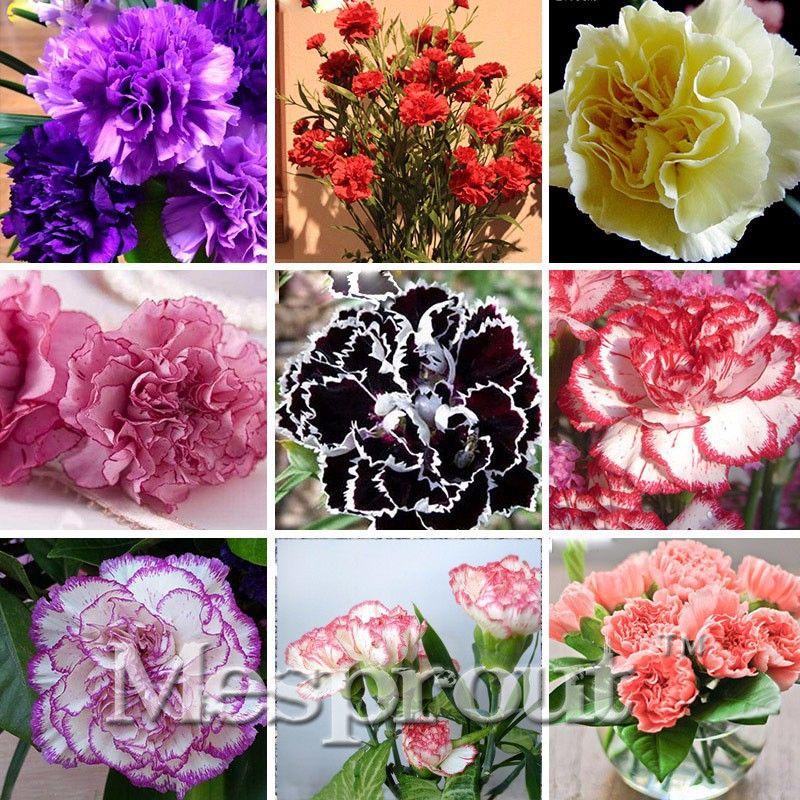 Lithops Bonsai Plants 200 PCS Seeds Carnation Dianthus Caryophyllus Flowers New
