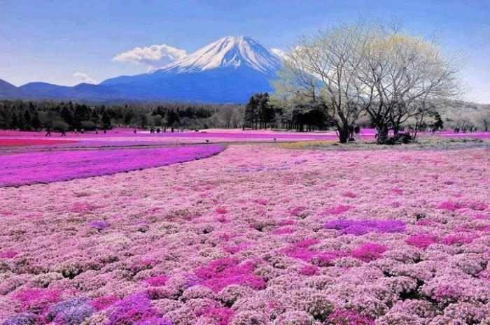 Campo de flores ornamentales frente al Monte Fuji- Japón
