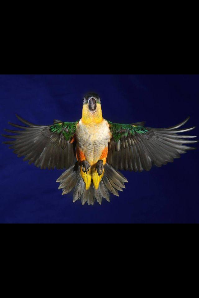 Parrots Fugle Billeder