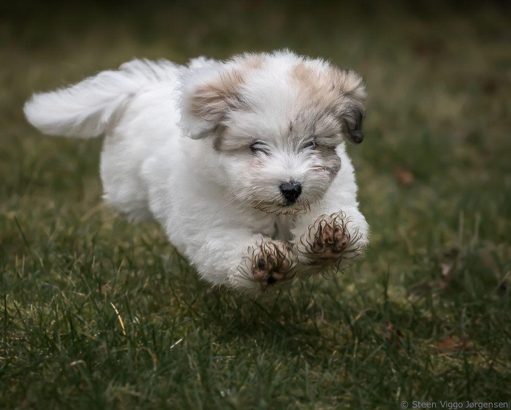 Chico Coton De Tulear Coton De Tulear Coton De Tulear Puppy