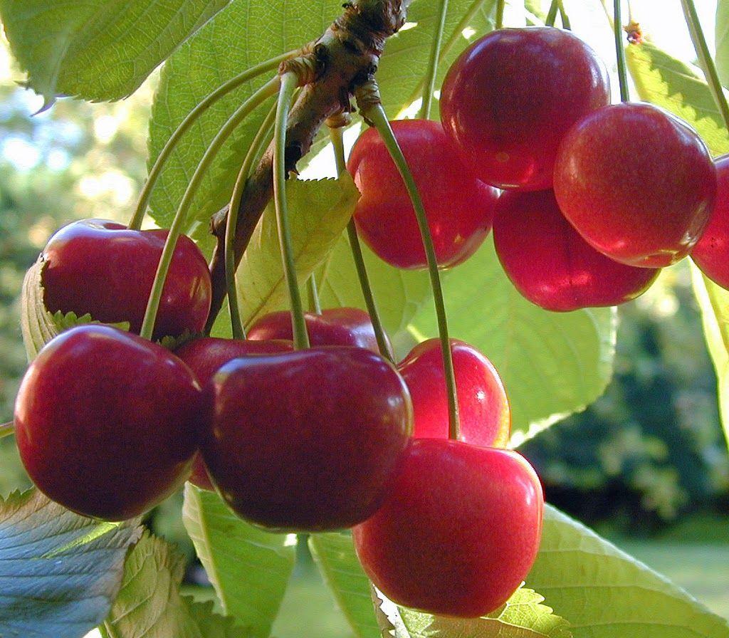 Dandelion Wine Grape Wine And Cherry Wine Recipes Nikki Lynn Design How To Grow Cherries Growing Cherry Trees Growing Fruit Trees