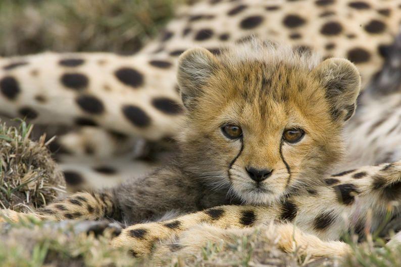 Six to eight-week-old cub, Maasai Mara Reserve, Kenya. ©Suzi Eszterhas