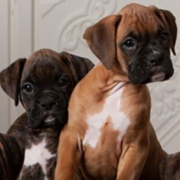 10 Marvelous Boxer Dogs Tips And Ideas In 2020 Cute Boxer Puppies Boxer Puppies Boxer Dogs
