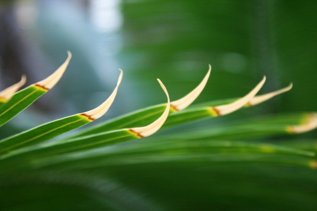 What Causes Brown Edges On Leaves Of Plants Plant Disease Leaves Indoor Tropical Plants Plants