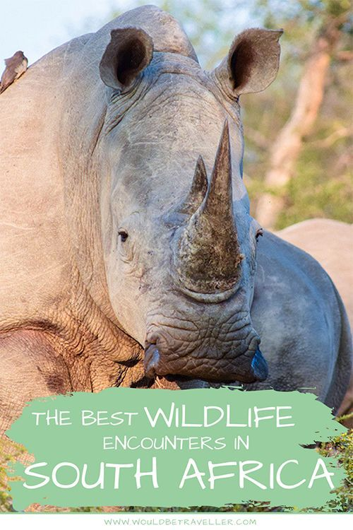 Incredible wildlife encounters in South Africa is part of Incredible Wildlife Encounters In South Africa Would Be - South Africa is a hotspot for incredible wildlife encounters, with the Big 5, wild dogs, vultures, giraffes and more all calling it home