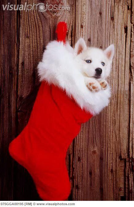 Husky Christmas Puppy.Image Detail For Siberian Husky Puppy In Christmas Stocking