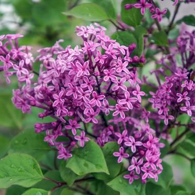 Syringa X Penda Bloomerang Purple Lilac Re Blooming Dwarf Lilac Spring Mid To Late Summer Height 4 6 Ft Wid Fragrant Flowers Syringa Purple Lilac