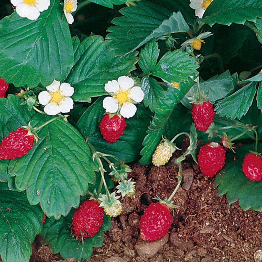 Alpine bush strawberry the earths bounty pinterest