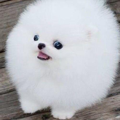 Pin By Rhonda W Reyes On My Chi Chi Pomeranian Puppy Pomeranian Puppy Teacup Cute Pomeranian