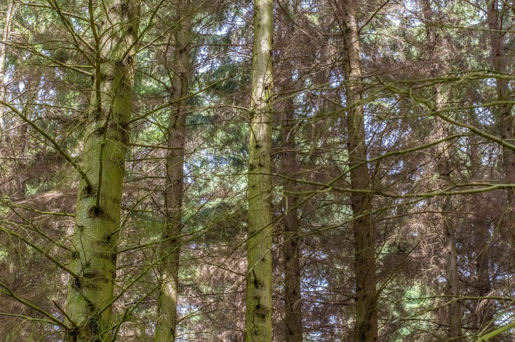 Trees in Becton Wood #Becton Wood #Norfolk #family holiday #fir trees #abstract #85mm #photo #photography #fliiby #images #yyazilim #people #nature