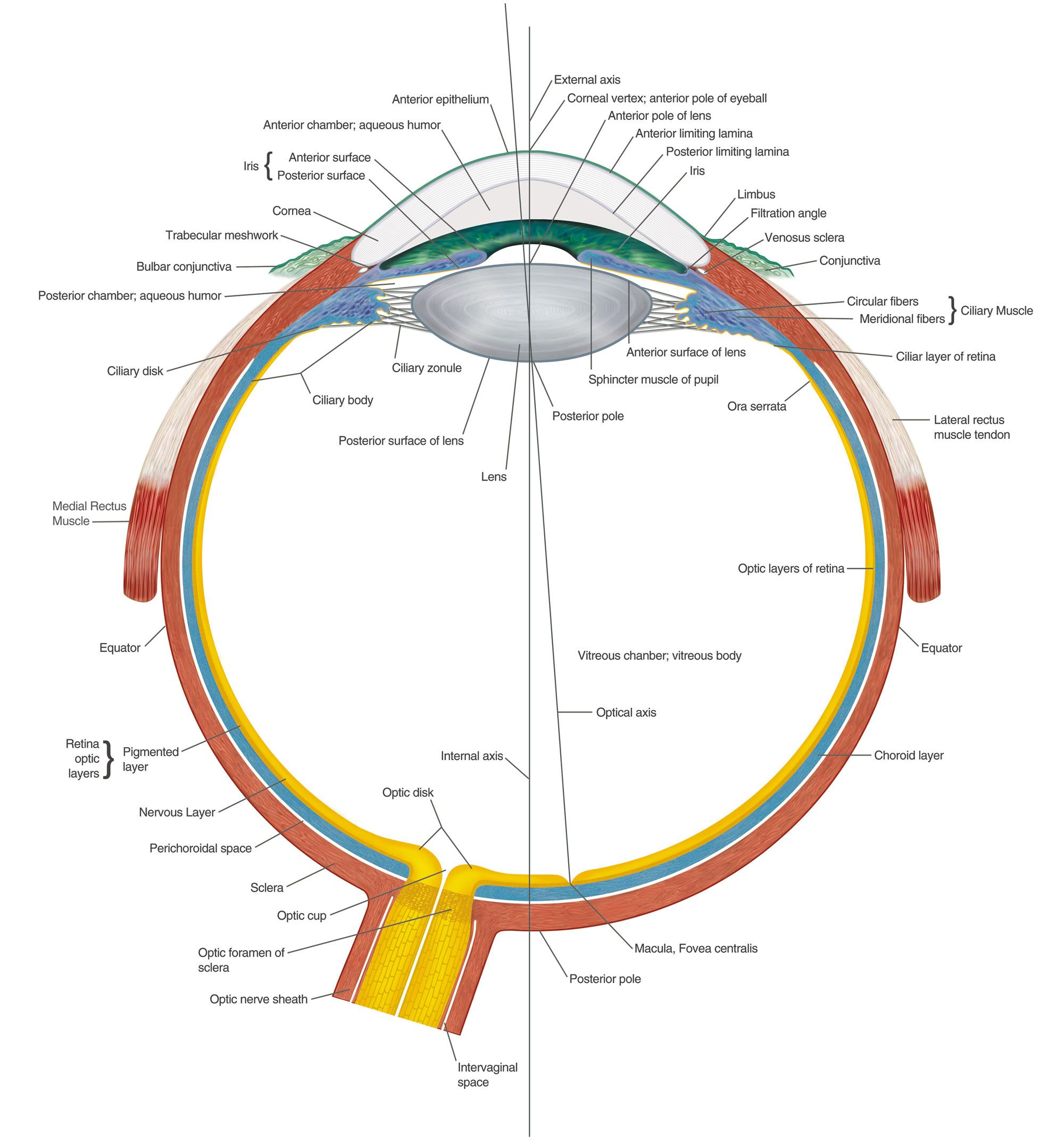 Eye Anatomy Chart B | Med | Pinterest | Eye anatomy, Anatomy and Eye