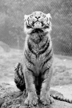 tiger in the rain.