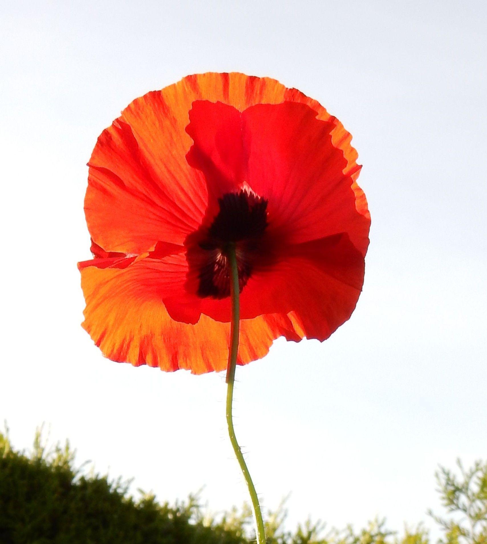 Pin Von Kado Boreew Auf Mohnblumen Mohnblume Blumen Mohn