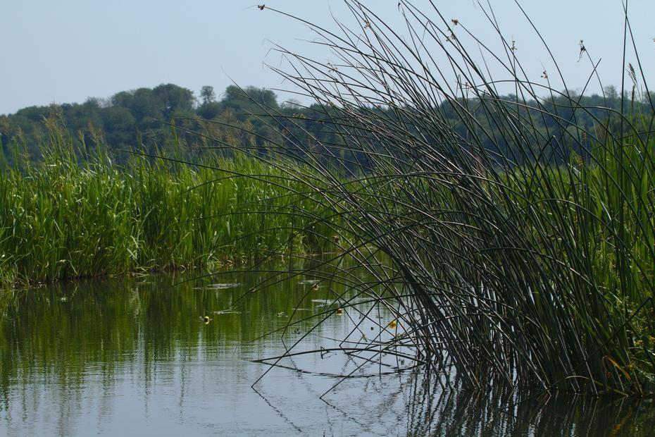 Binsen an der Recknitz,  Die Recknitz bei Ribnitz Damgarten. Die Reckknitz ist ein kleiner Fluß - und die historisch wichtige Grenze zwischen Pommern und Mecklenburg