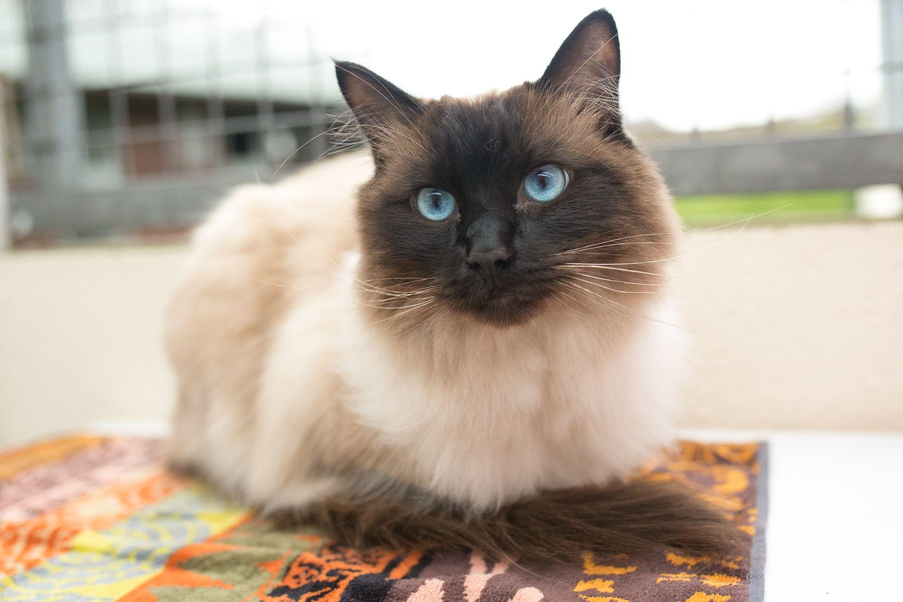 Dusty C2018014 Rare breed, Cats, Ragdoll