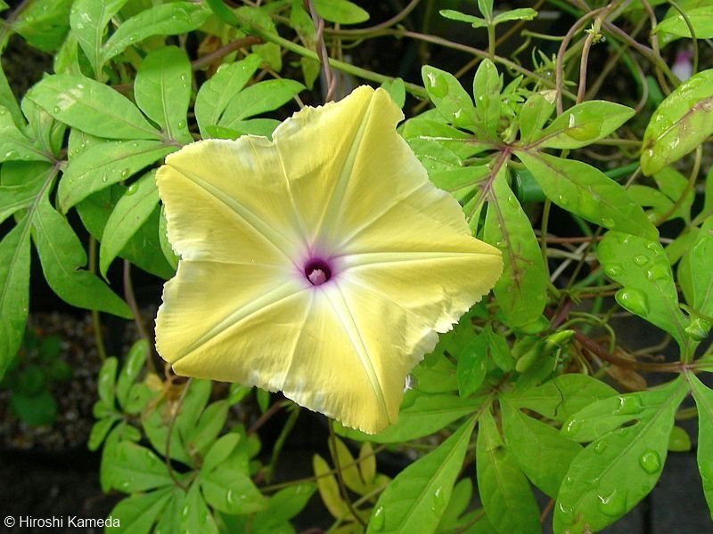 động Thực Vật Việt Nam Ipomoea Plant Leaves Flowers Plants