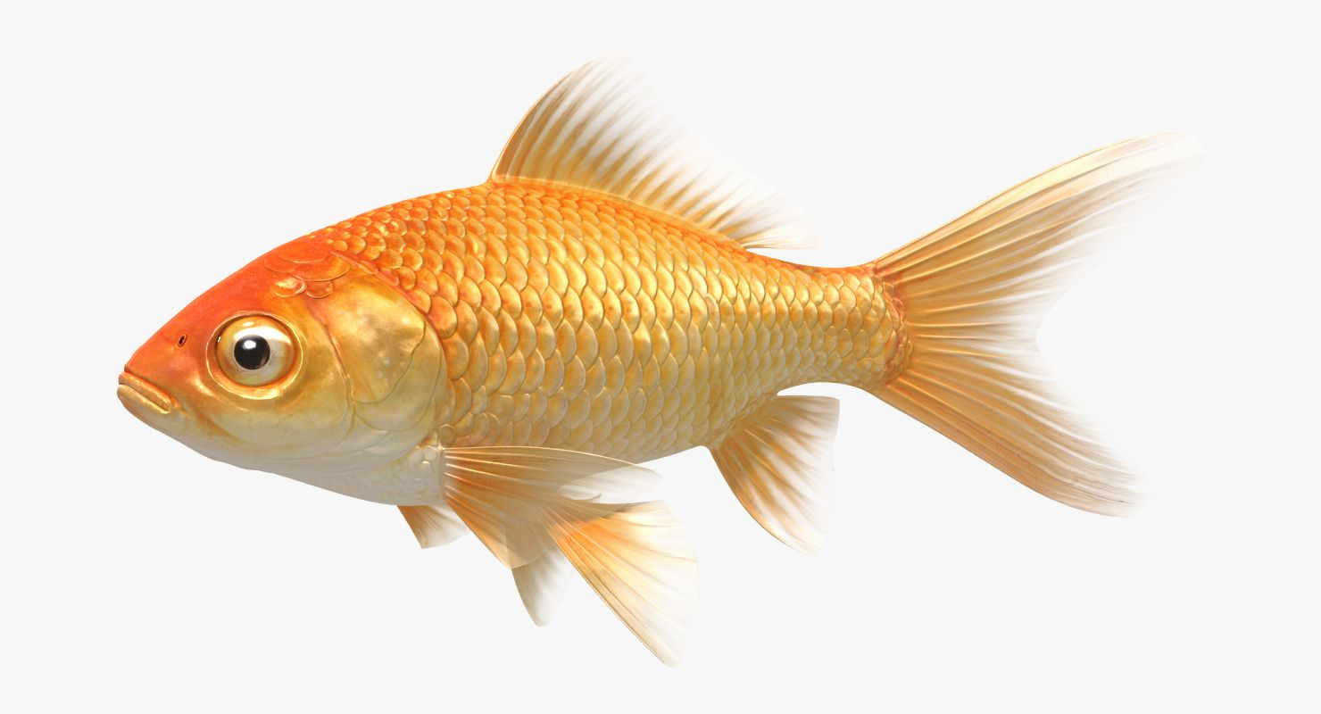 Goldfish Animated Model Goldfish Fish Pet Animation