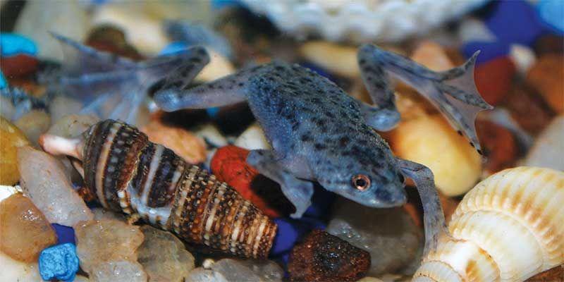 African Dwarf Frogs And Betta Fish Betta Fish Betta Fish Dwarf