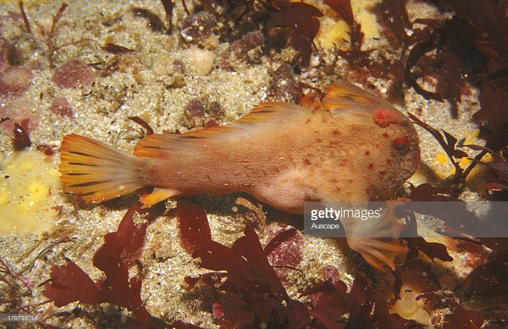 handfish with lure handfish