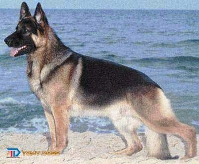 Pakistani Shepherd Dog Bhagyari Kutta German Shepherd Dogs