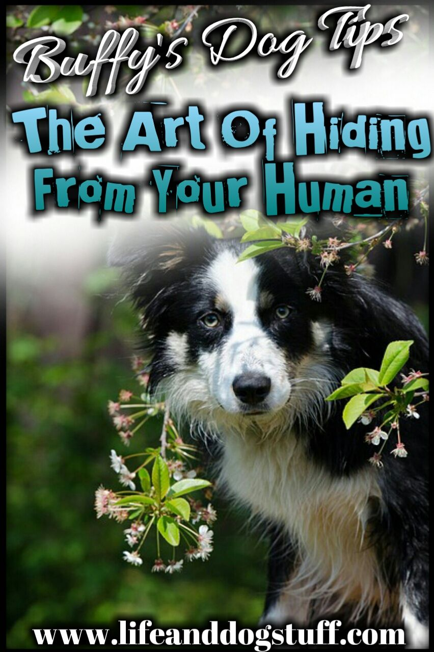 The Art Of Hiding From Your Human Buffy S Dog Tips Funny Dogs Dog Mom Dogs
