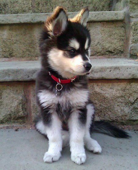 Moko the Alaskan Klee Kai. Cutest puppy in the world. Yes, I would put this in my room :):