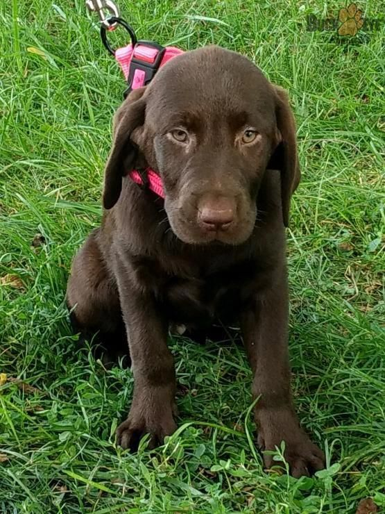 Susie Labrador Retriever Puppy for Sale in columbus, OH