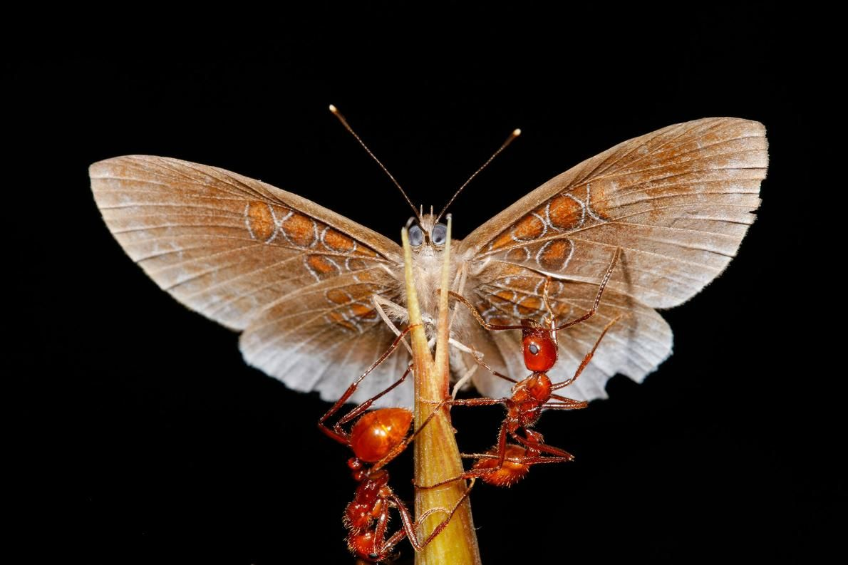 """Amazon butterflies swipe food from ants, a never-before-seen behavior, a new study says. Even bullet ants—the """"most badass ants of the jungle"""" due to their pugnacious nature and painful sting—got swindled, notes Andy Warren, a lepidopterist at the University of Florida who wasn't involved in the study."""