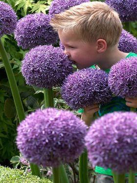 Allium Globemaster Fall Plants Plants Backyard Flowers