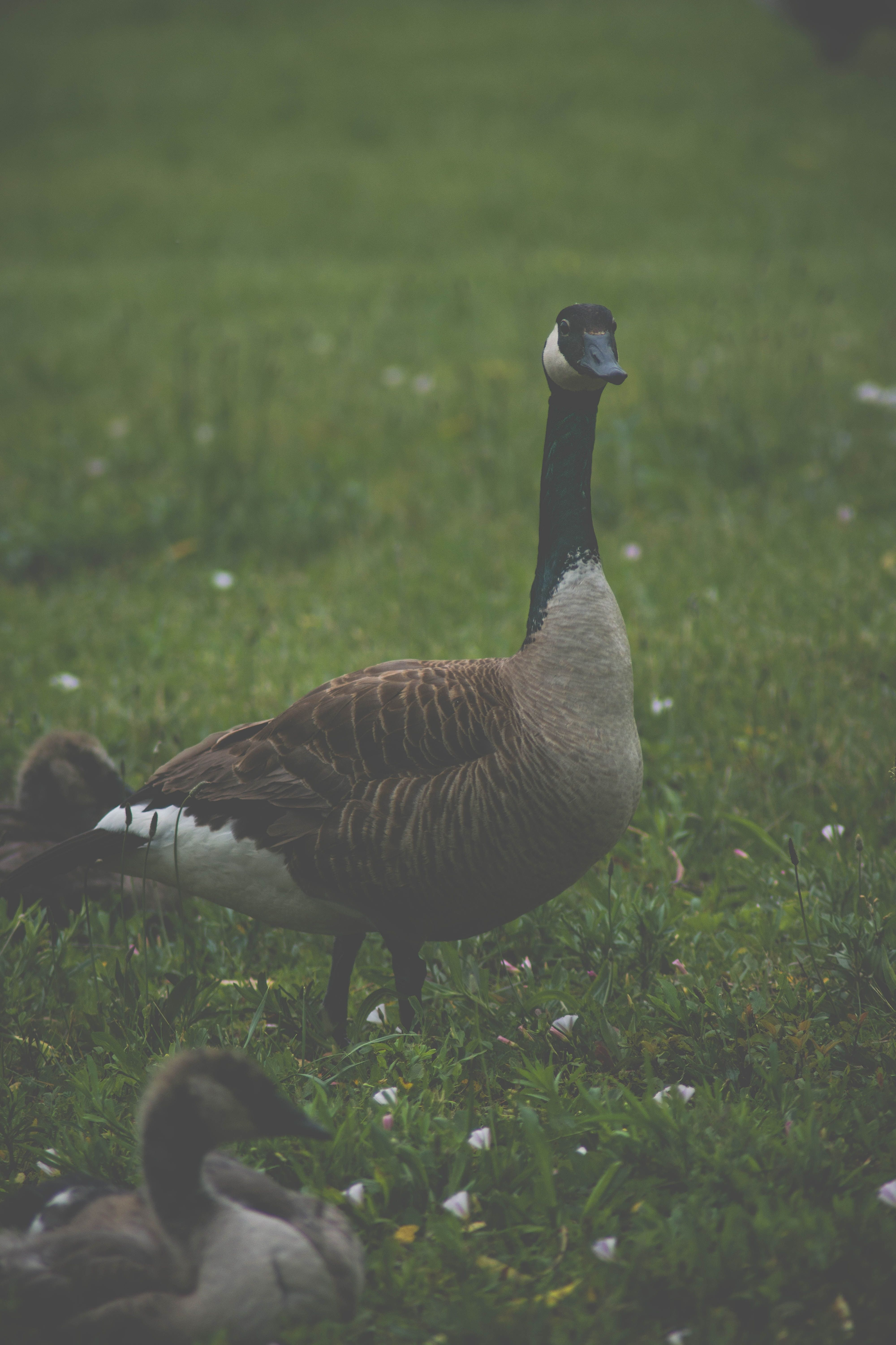 Everyone agrees that geese are loud and make good